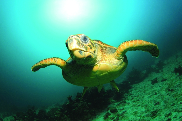 Turtle in sea_1_hires