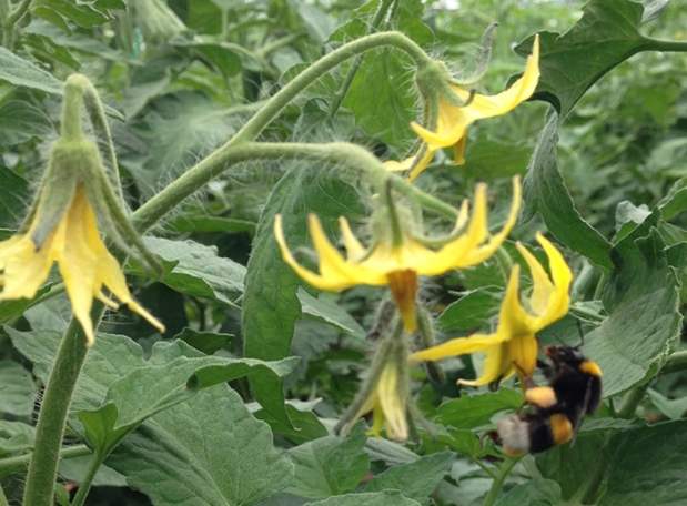 Bee on tomato flower-crop-landscape