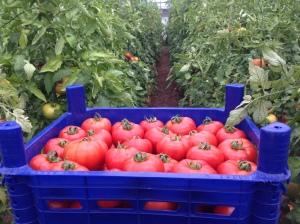 Tomatos in 'Taste of Fethiye'